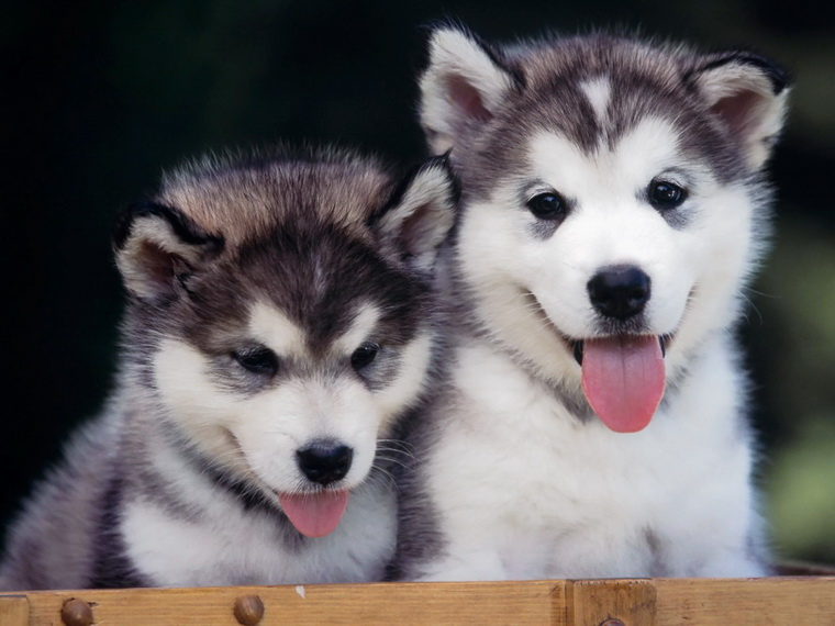 siberian husky wallpapers 7